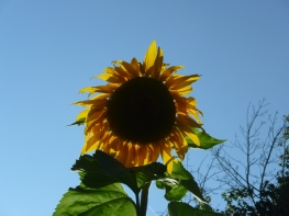 Our 10ft tall sunflower!