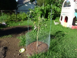 The start of our pear tree