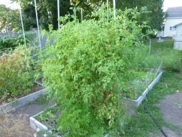 LP's tiny tomato bush